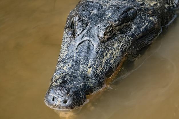 Het hoofd van een kaiman ligt aan de waterkant in het amazonewoud.