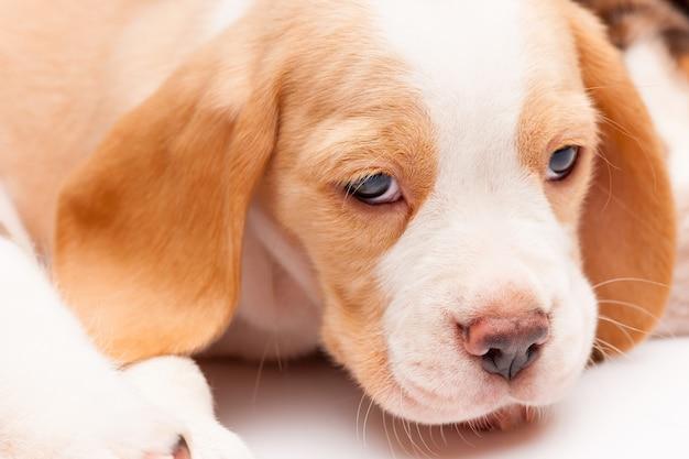 Het hoofd van rode beagle puppy op de witte achtergrond