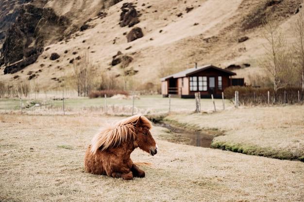 Het ijslandse paard is een paardenras dat in ijsland wordt gekweekt. een bruin paard ligt op het gras tegen de