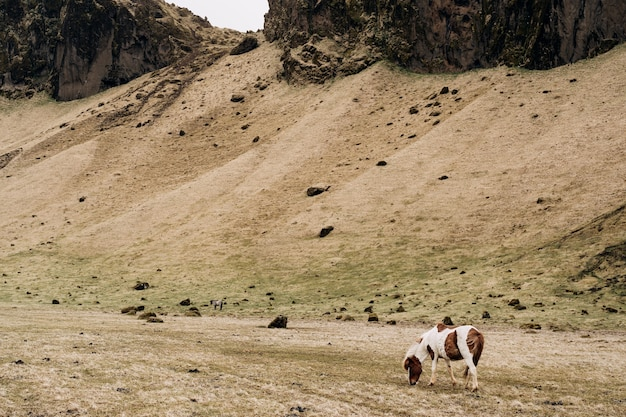 Het ijslandse paard is een paardenras dat in ijsland wordt gekweekt, een gevlekt witbruin paard eet geel