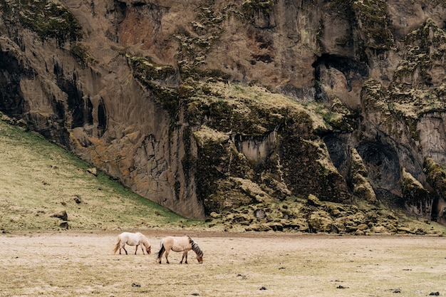 Het ijslandse paard is een paardenras dat in ijsland wordt gekweekt. twee crèmekleurige paarden grazen in een veld van