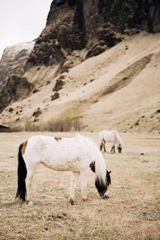 Het ijslandse paard is een paardenras dat wordt gekweekt in ijsland. witte paarden grazen in een weiland tegen een