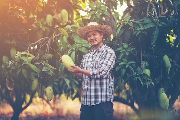 Het jonge aziatische landbouwer plukken en toont mangofruit in organisch landbouwbedrijf, thailand