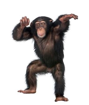 Het jonge chimpansee dansen - simia-holbewoners op een geïsoleerd wit