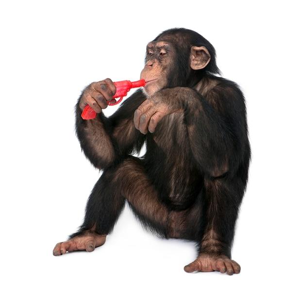 Het jonge chimpansee spelen met een kanon - simia-holbewoners op een geïsoleerd wit