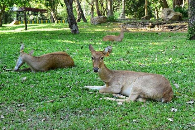 Het jonge hert op het grasveld