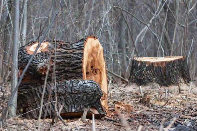 Het kappen van zieke bomenstronken van een oude afgesneden boom in openbaar park of bos