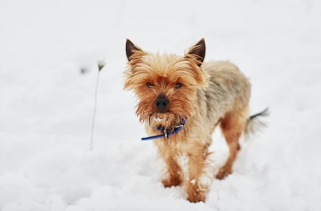 Het kleine hondje in de sneeuw kijkt in de camera
