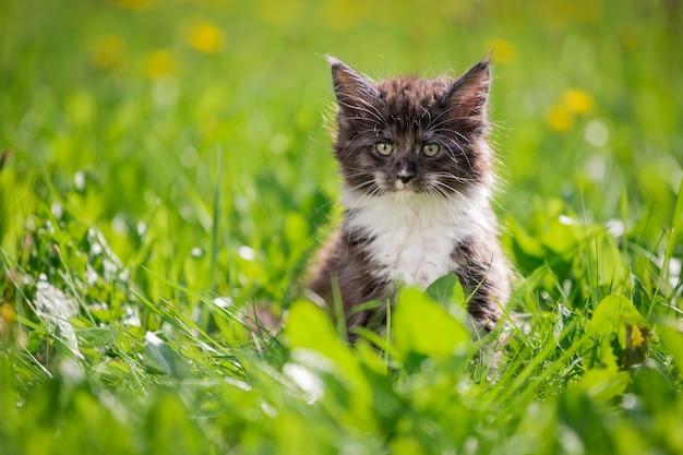 Het kleine pluizige speelse grijze maine coon-katje met een witte borst loopt op het groene gras.
