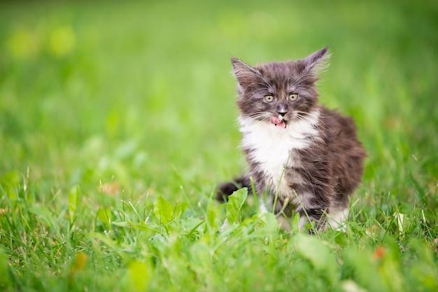 Het kleine pluizige speelse grijze maine coon-katje met witte borst loopt op het groene gras.