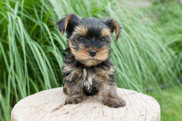 Het kleine puppy yorkshire terrier stellen in aard