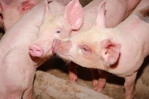 Het kleine witte varken werd grootgebracht als menselijk voedsel