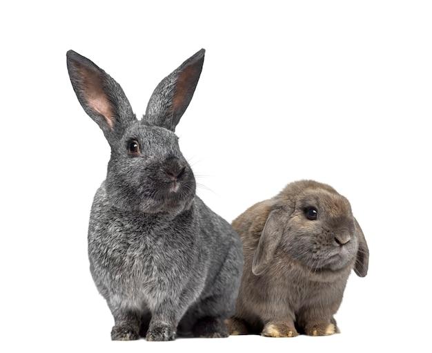 Het konijn van argente en holland snoeit konijn dat op wit wordt geïsoleerd