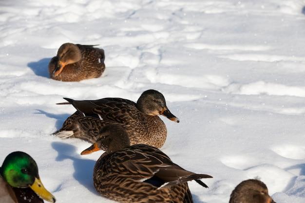 Het koude seizoen met vorst en sneeuw, eenden zitten in de sneeuw, een grote kudde eenden die voor de winter in europa bleef