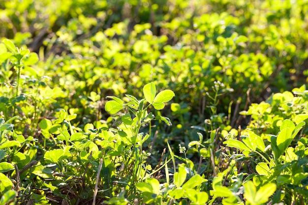 Het kweken van gemaaid gras en klaver na de oogst voor het voederen van dieren, close-upfoto bij zonsondergang in de herfst, weide
