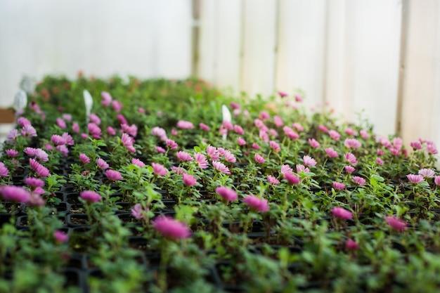 Het kweken van zaailingen in een serre