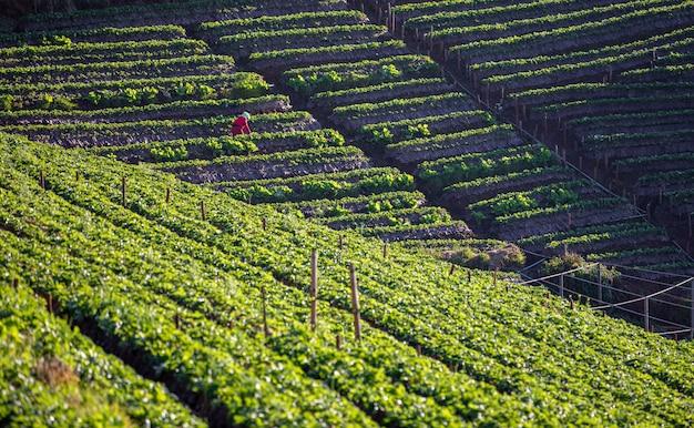 Het landbouwbedrijf van de landbouwgebiedaardbei op de berg in de trap in thailand