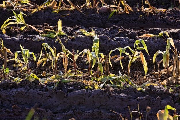 Het landbouwveld waar maïs wordt verzameld voor veevoer, heeft na regen en passerend transport diepe sporen in de grond en vuil achtergelaten