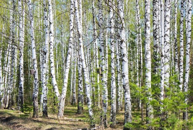 Het landschap in een berkenbos in het vroege voorjaar