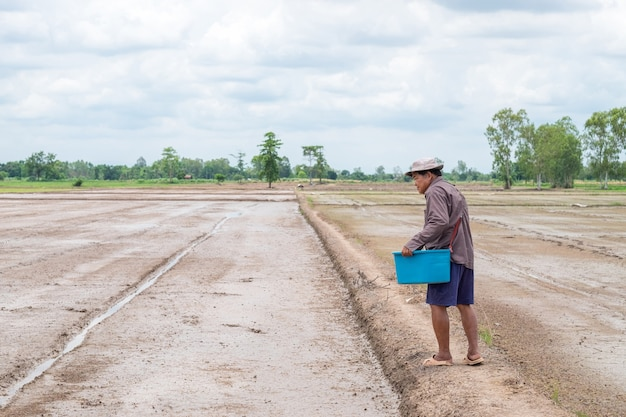 Het landschap van de oude aziatische landbouwersmens gooit zaailingenpadie bij een padieveld.