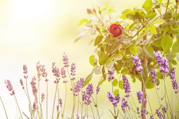 Het lavendel veld.