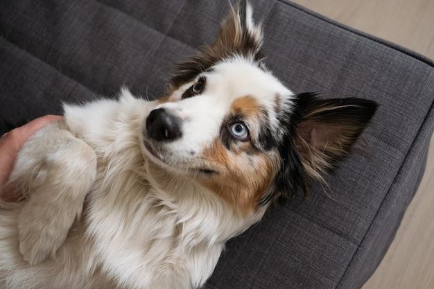 Het leuke grappige australische de hondengezicht van herder blauwe merle ligt ondersteboven. adoptie. onderdak. huisdieren vriendelijk en zorgconcept.