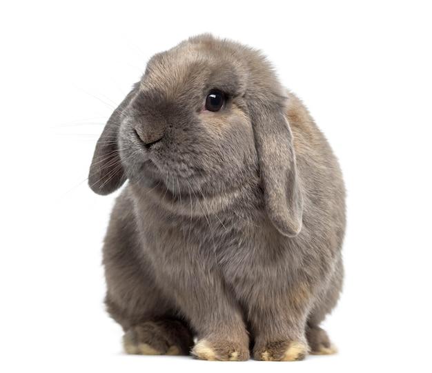 Het leuke holland snoeit konijn dat op wit wordt geïsoleerd
