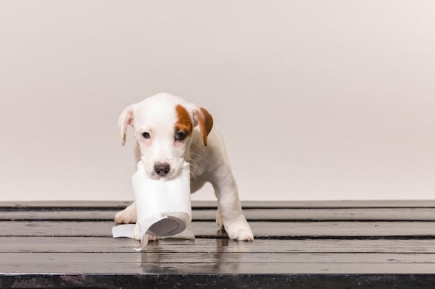 Het leuke jack russel puppy spelen met toiletpapier