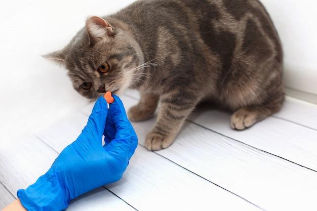 Het leuke katje dat een pil van dierenartsen krijgt dient blauwe handschoenen in