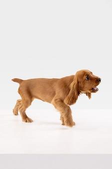Het leuke speelse wit-bruine hondje of huisdier speelt en kijkt gelukkig geïsoleerd op wit