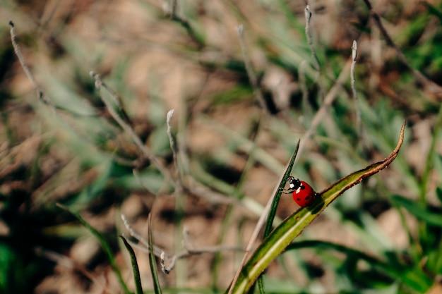 Het lieveheersbeestje kruipt van blad naar grassprietje