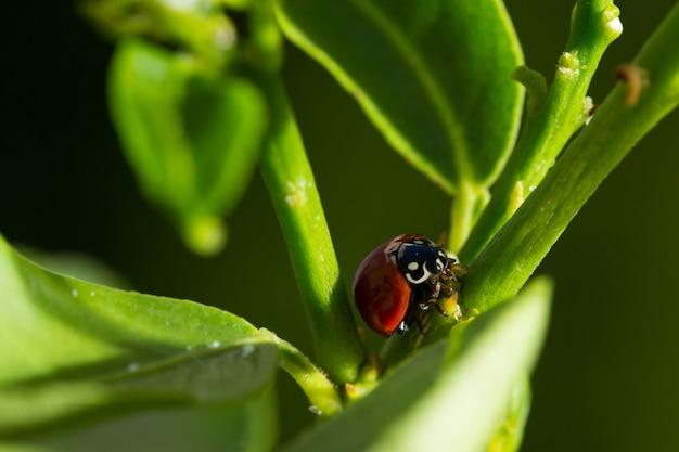 Het lieveheersbeestje verlaat extreem dichte omhooggaand