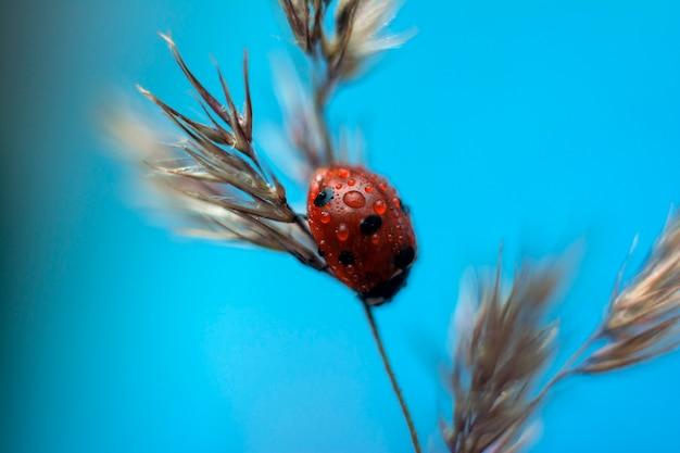 Het lieveheersbeestje zit op droog gras in de zomer