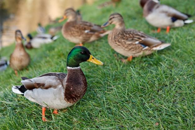 Het mannelijke close-up van de wilde eendeend op het groene gras. selectieve aandacht