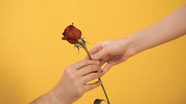 Het mannelijke hand knielen brengt rood roze bloem over aan vrouwelijke hand op gele achtergrond