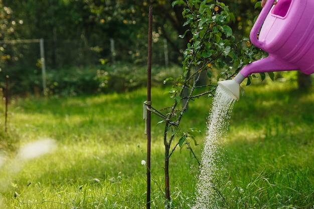Het meisje geeft een violette appelboom in een groene tuin water