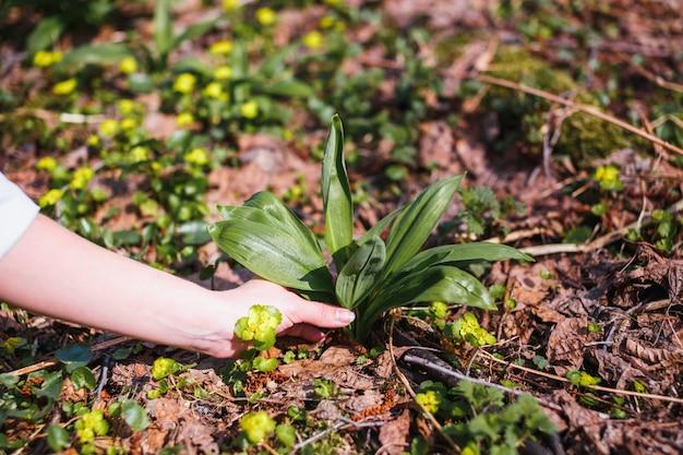 Het meisje verzamelt de eerste jonge wilde knoflook in het bos