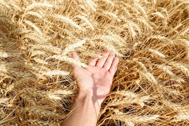 Het menselijke stro van de de holdingstarwe van de handaanraking op heldere de oogst zonnige dag van de gebiedszomer