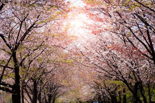 Het mooie bloeien van roze sakuraboom met blauwe hemel voor achtergrond en achtergrond.