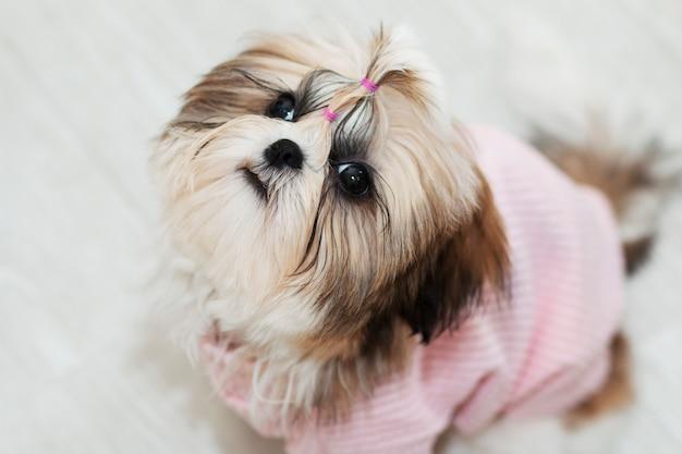Het mooie leuke puppy van shihtzu in roze kleren kijkt omhoog