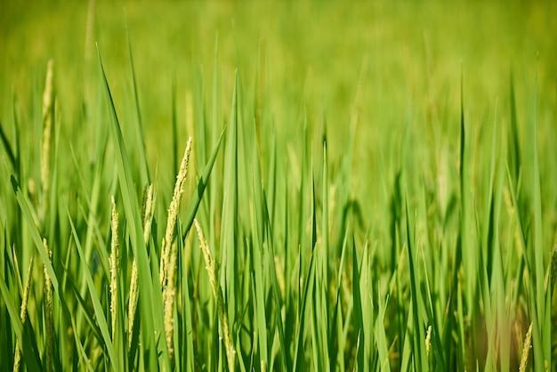 Het mooie padieveld vult groen in, groeit de rijst in zuidoost-azië