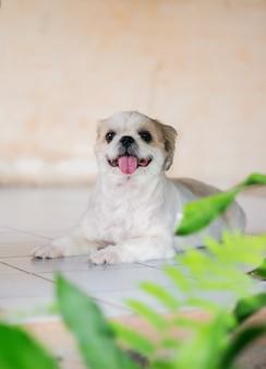 Het mooie puppy of de kleine witte en bruine de hondzitting van shih tzu en de tong uitsteken zien zo zoet eruit.