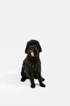Het mooie zwarte hond stellen met witte achtergrond