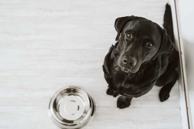 Het mooie zwarte wachten van labrador om zijn maaltijd te eten. thuis, binnen