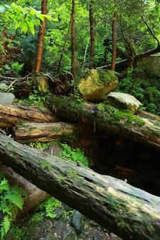 Het mos bedekte rotsen en omgevallen bomen een oud bos.