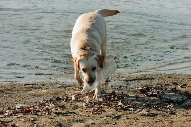 Het natte hond spelen met een fles op de zandige kust op een zonnige dag
