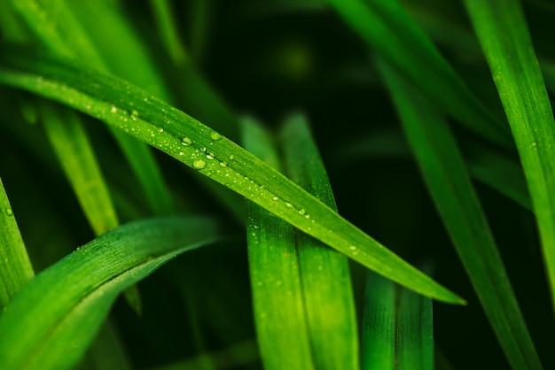 Het natuurlijke levendige glanzende groene gras met dauw laat vallen close-up met exemplaarruimte