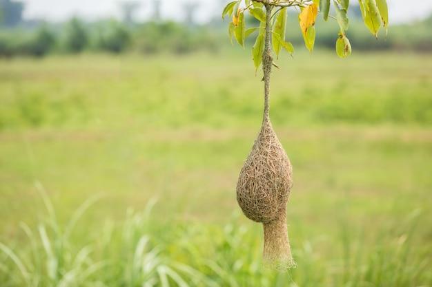 Het nest van weversvogel hangt op de boomtak met de groene achtergrond van het aardonduidelijke beeld