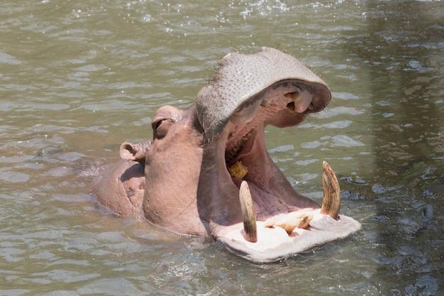 Het nijlpaard opent de mond.
