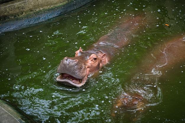 Het nijlpaard opent zijn mond om te eten, hippopotamus; hippo